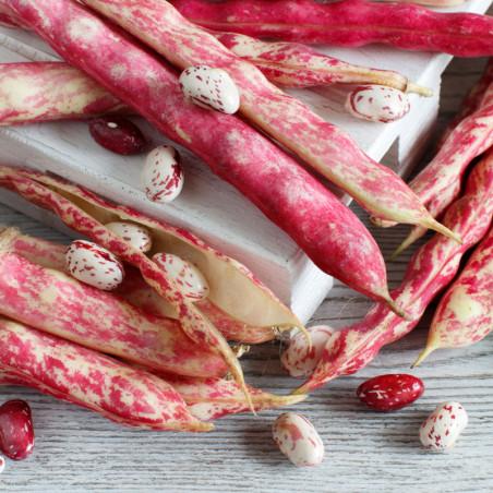 semillas de judias pintas borlotto rosso