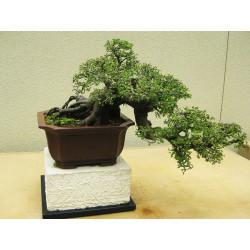 Olmo chino - Sobre 15 semillas