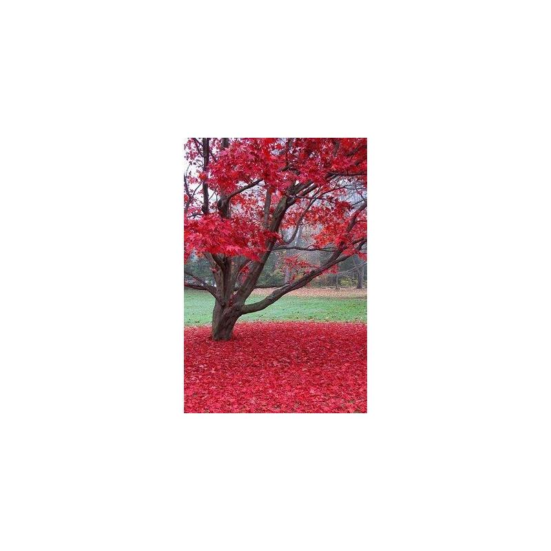 Arce Rojo / Arce de Canadá