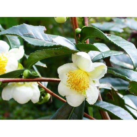 [PREVENTA] Camellia sinensis - 1 planta joven