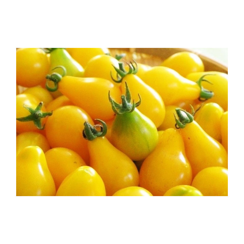 Tomate Cherry Pera Amarillo - Sobre 25 semillas