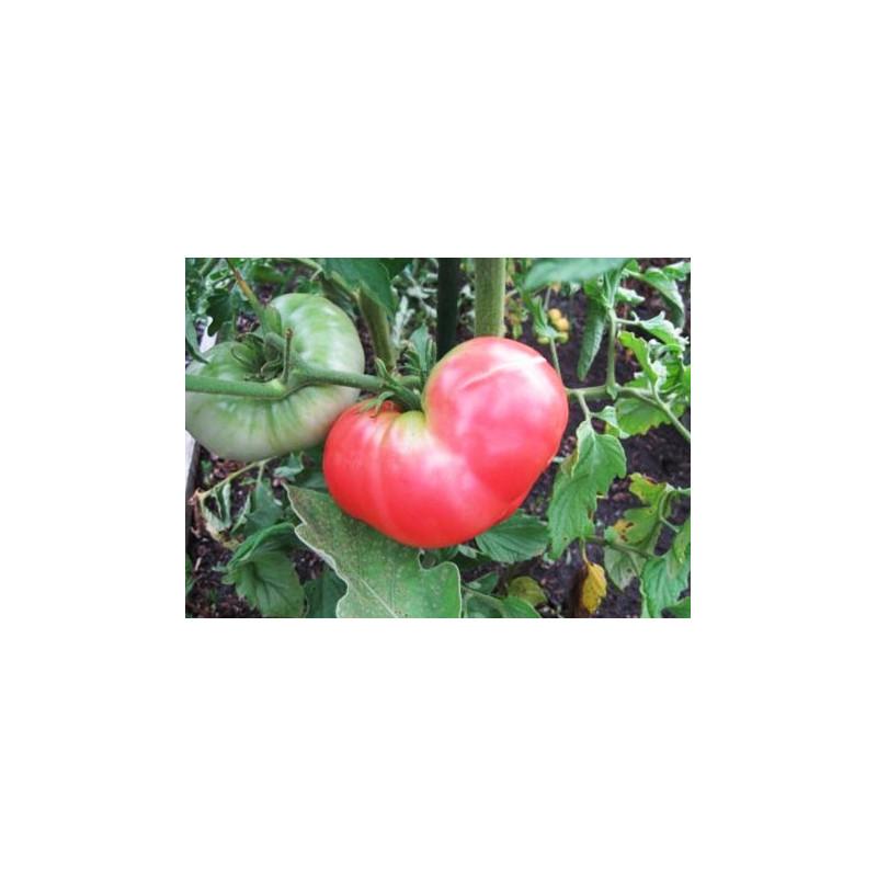 Tomate rosa Ponderosa - Sobre 25 semillas