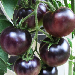 Tomate Black Cherry - Sobre 25 semillas