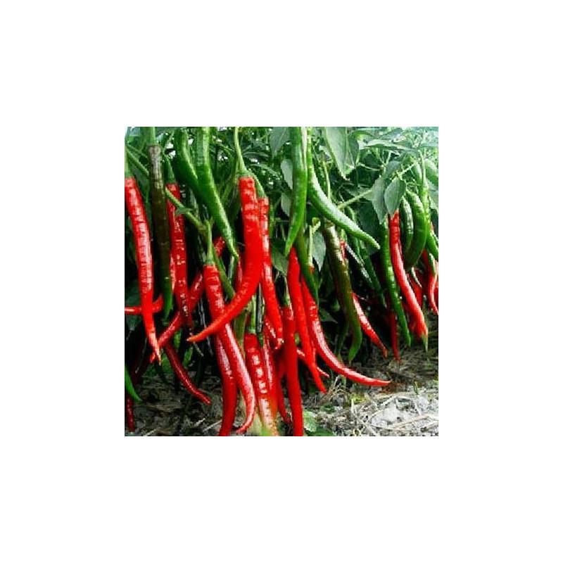 Pimiento Cayena Largo - Sobre 20 semillas
