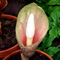 Amorphophallus bulbifer - Bulbo Nº1