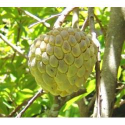 Anona del Perú - Sobre 5 semillas