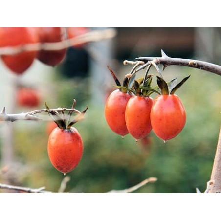 Diospyros rhombifolia - Sobre 8 semillas