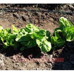 Acelga lionesa - Sobre 50 semillas
