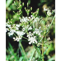 Alcaravea - Sobre 100 semillas