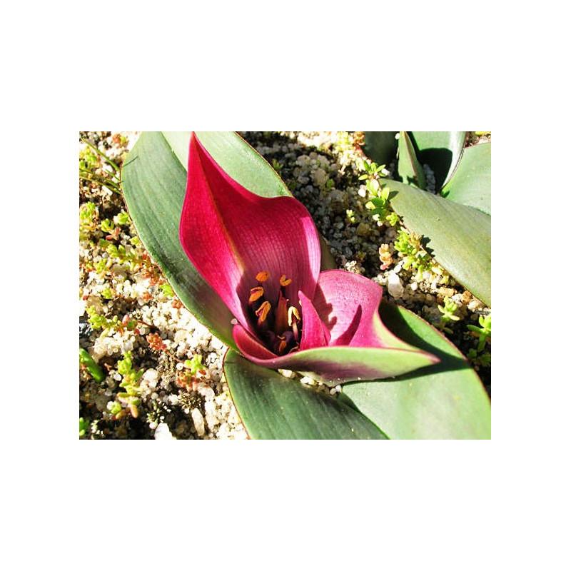 Androcymbium latifolium - Sobre 6 semillas