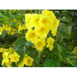 Bignonia amarilla