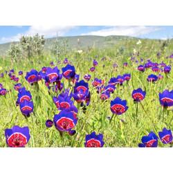 Geissorhiza radians - Sobre 10 semillas