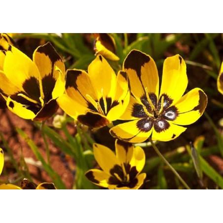 Hesperantha vaginata - Sobre 10 semillas