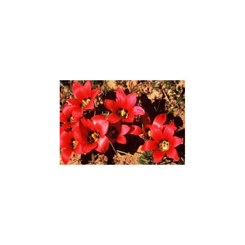 Romulea amoena - Sobre 10 semillas