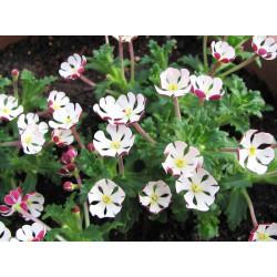 Zaluzianskya ovata - Sobre 10 semillas
