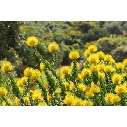 Leucospermum cordifolium 'Amarillo' - Sobre 5 semillas
