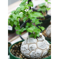 Dioscorea elephantipes - Sobre 4 semillas