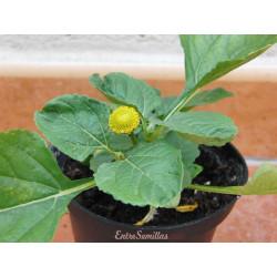 Flor eléctrica - 1 planta