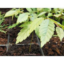 Zelkova serrata - 1 planta joven