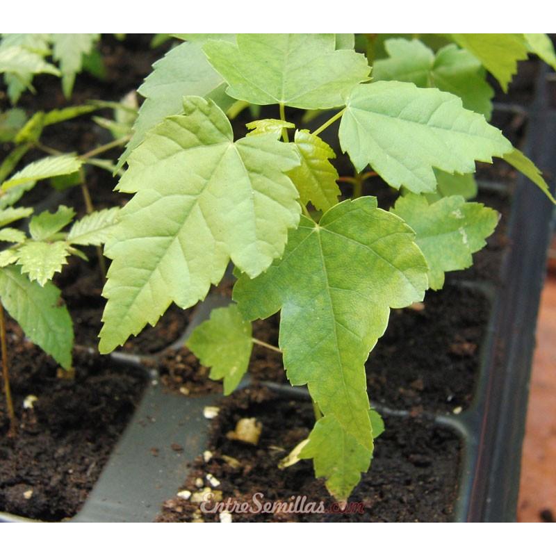 Arce rojo - 1 planta joven