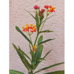 Asclepias curassavica - 1 planta
