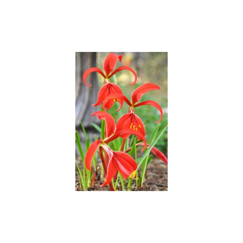 Flor de Lis - Sobre 8-10 semillas