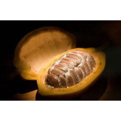 [PREVENTA] Cacao (var. Criollo) - 5 semillas