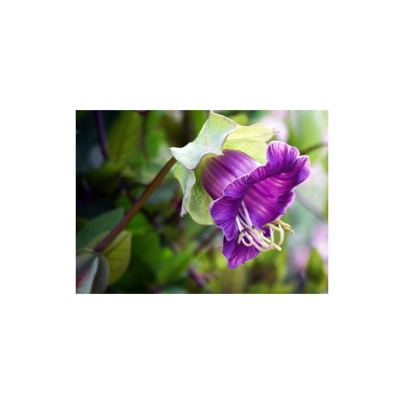 Cobea morada - 6 semillas