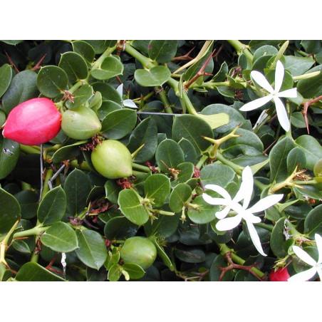 Carissa macrocarpa - Sobre 20 semillas