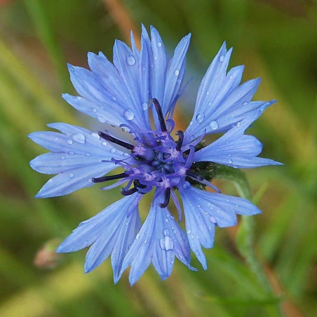 Azulejo - Sobre 100 semillas