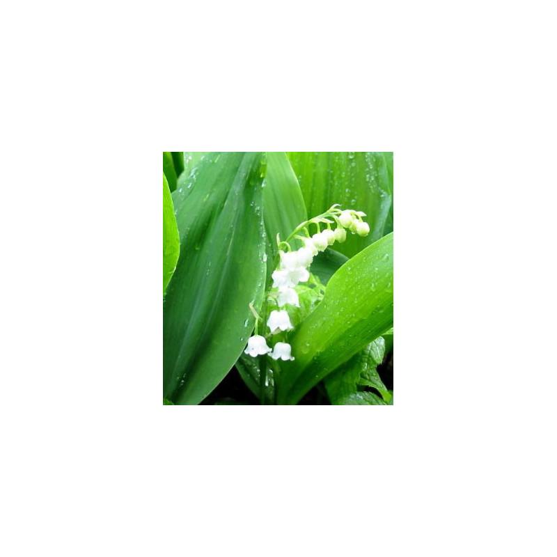 Convallaria majalis - Sobre 6 semillas