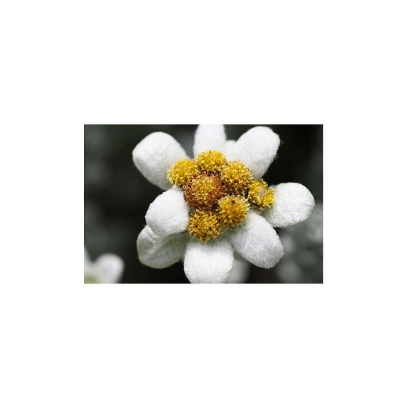 Edelweiss de Nueva Zelanda - Sobre 30 semillas
