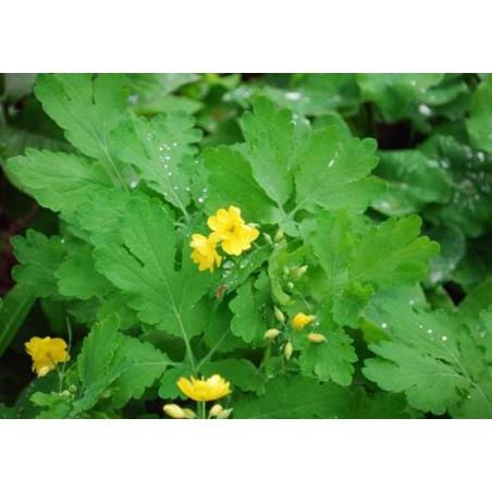 Celidonia mayor 'Flore Pleno' - Sobre 20 semillas