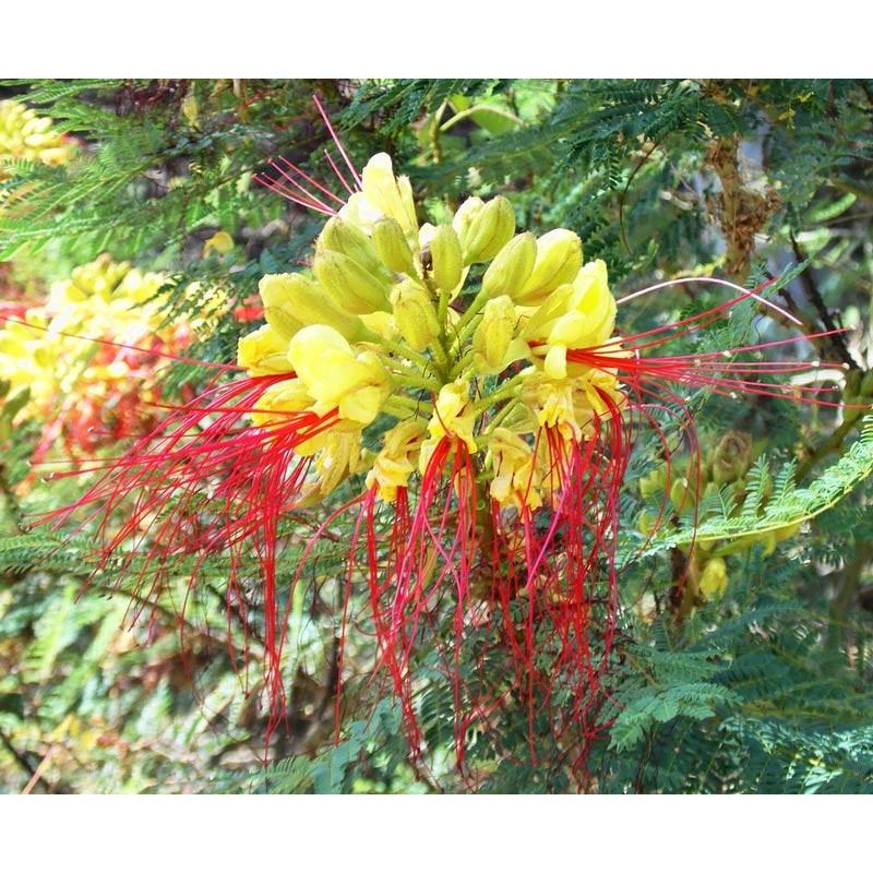 Caesalpinia gilliesii - Sobre 10 semillas