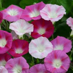 Ipomoea purpurea 'La Vie en Rose'
