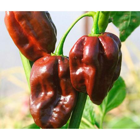 Pimiento Habanero Chocolate - 20 semillas