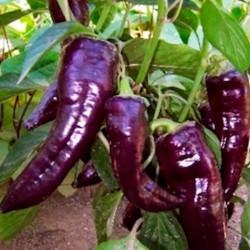 Pimiento Marconi Morado - Sobre 20 semillas