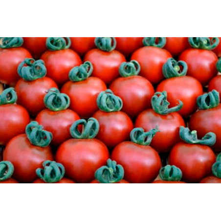 Tomate Cherry Bronce - Sobre 15 semillas