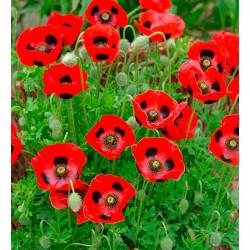 Amapola 'Ladybird' - Sobre +200 semillas