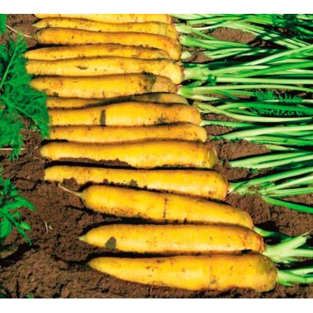 Zanahoria amarilla 'Yellowstone' - Sobre +100 semillas