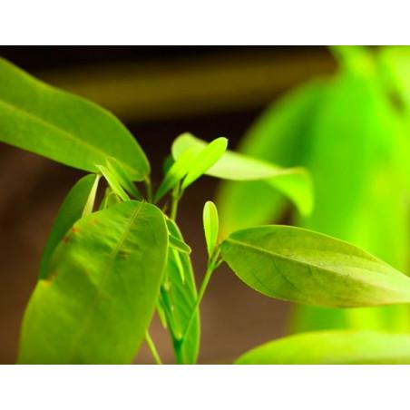 Planta del telégrafo - Sobre 20 semillas