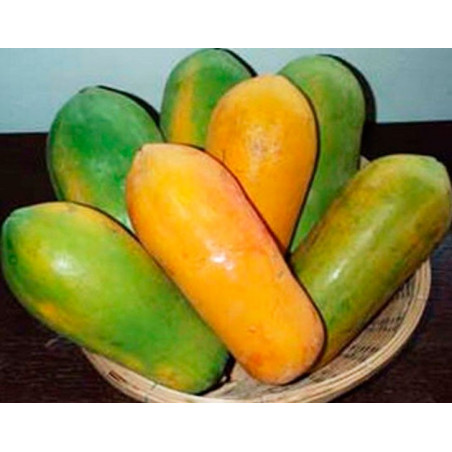 Papaya 'Thai Holland' - Sobre 10 semillas