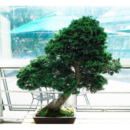 Hinoki Cypress -