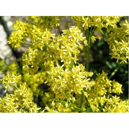 Hierba pastel - 1 planta