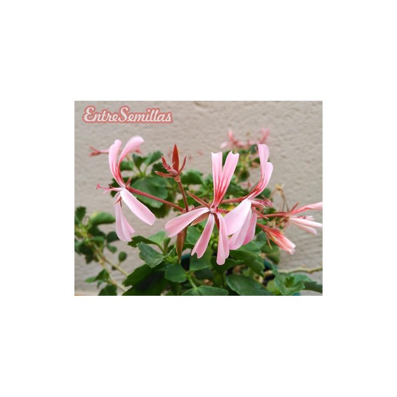 Pelargonium acetosum - 1 planta