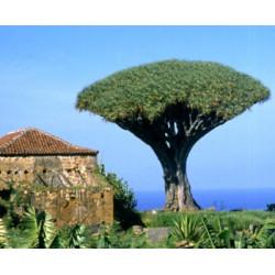 Drago de Canarias