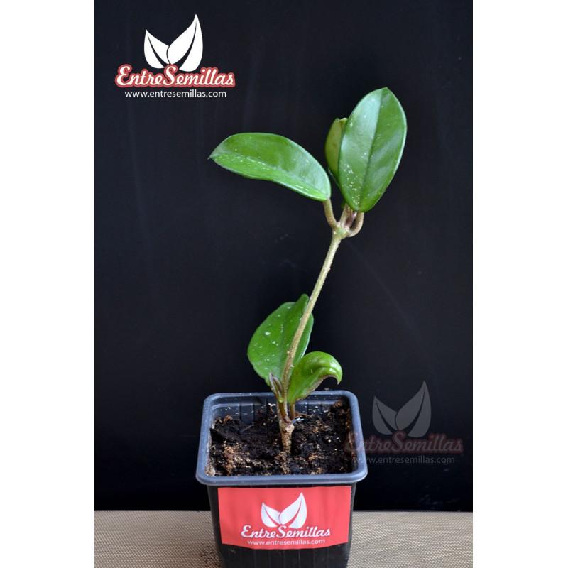 Hoya carnosa - 1 esqueje en maceta