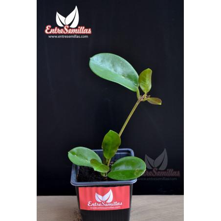 Hoya australis- 1 esqueje en maceta