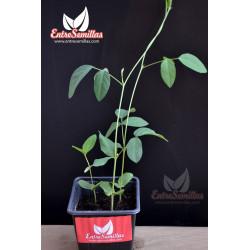Clitoria ternatea - Sobre 6 semillas