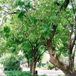 Árbol del Jabón - Semillas